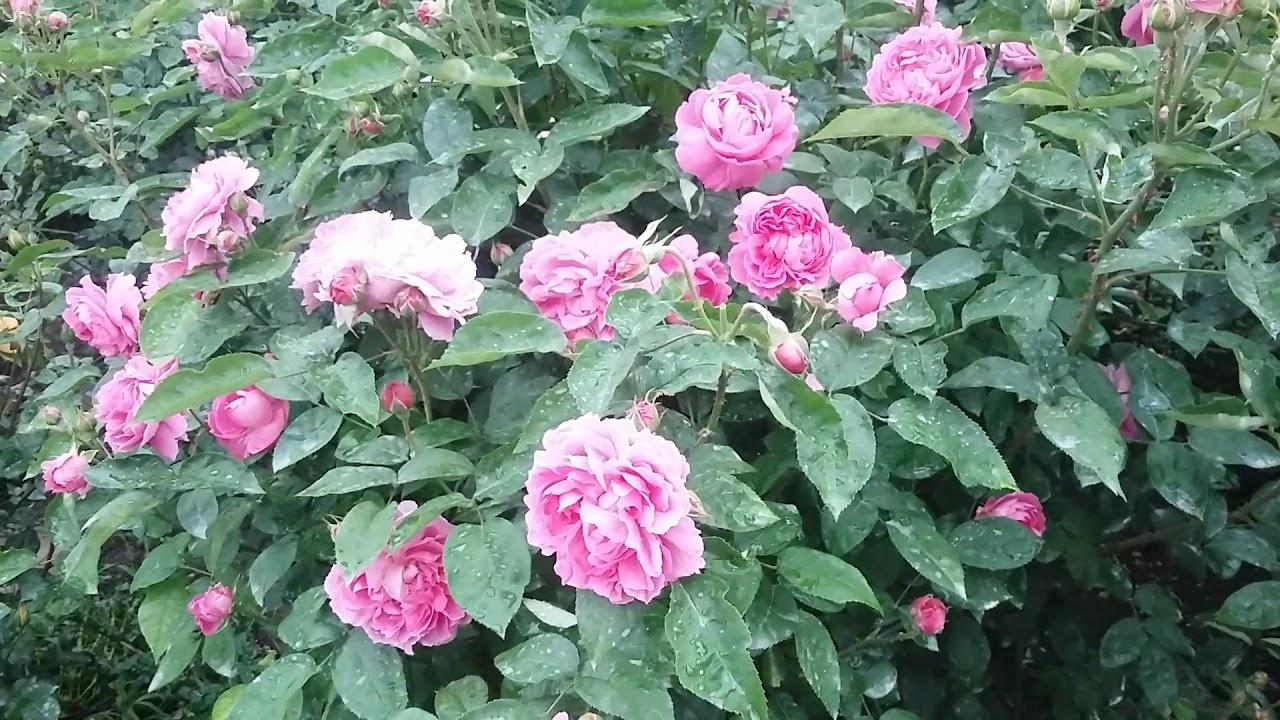 Английская роза Мери Роуз