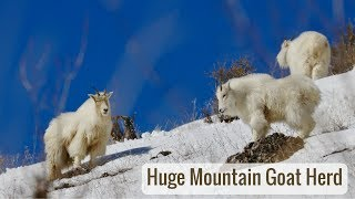 Wonderful Wyoming Wildlife - Huge Mountain Goat Herd