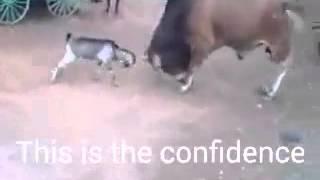 pelea de toro con un cabro