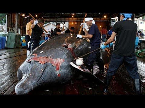 Επιστρέφει στη φαλαινοθηρία για εμπορικούς σκοπούς η Ιαπωνία…