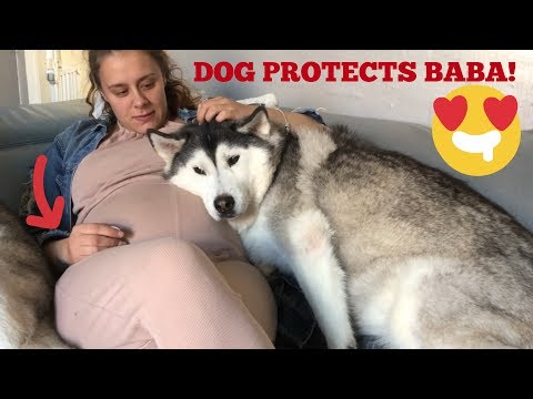 CAN DOGS SENSE PREGNANCY!? [THEY TRY TO PROTECT!]