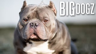 Meet China Boy - The $1 Million Bully   BIG DOGZ