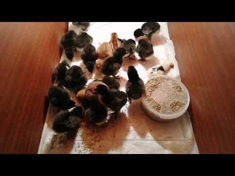 Цыплята Билефельдер и Джерсийский гигант в возрасте 2 суток