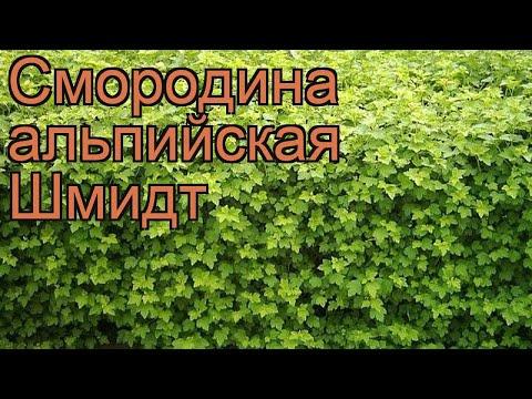 Смородина альпийская Шмидт (ribes alpinum schmidt) 🌿 обзор: как сажать, саженцы смородины Шмидт