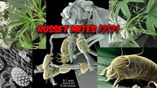 TDDS Grow Tips Special: Introduction to Russet Mites