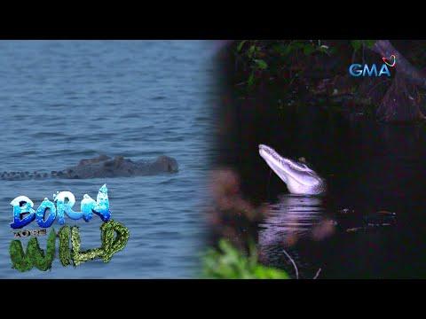 [GMA]  Born to be Wild:  The alpha predator of the reptile species