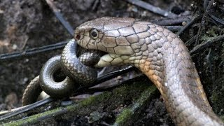Striking Facts About King Cobra Snakes