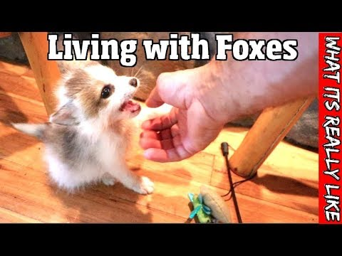 What its really like to live with foxes -The good, the bad & the truth about having a pet fox