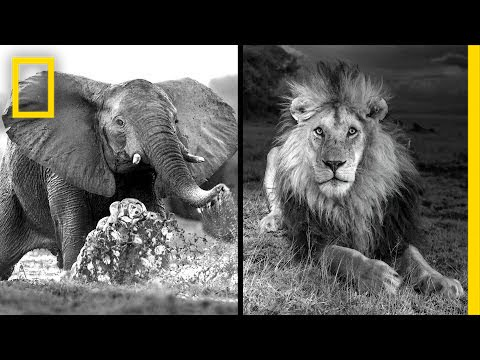 Michael Nichols: Photographing Africa's Wildest Beasts   Nat Geo Live thumbnail