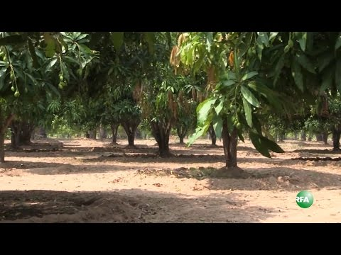 Download A Day In the Life of Mango Farmer HD Mp4 3GP Video and MP3