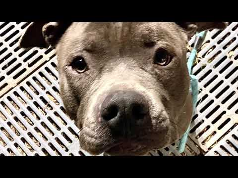 Kobe, an adopted Pit Bull Terrier Mix in Chicago, IL