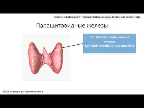 Щитовидная и паращитовидные железы: строение, функции,  возрастные особенности
