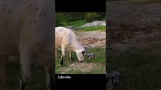 Dog Scared Cow #shorts