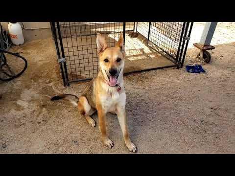 ADDIE, an adoptable German Shepherd Dog Mix in Phoenix, AZ