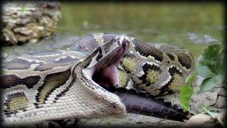Python Eats Alligator 01 Narration