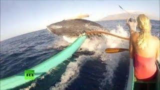 Горбатый кит едва не перевернул лодку в США