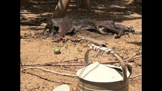 A dog resorts to eating maize as hungry bites Elgeyo Marakwet residents