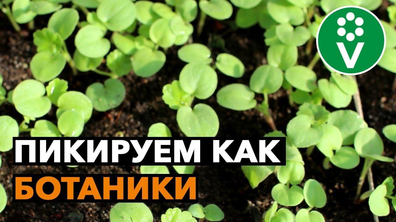 Правила ПИКИРОВКИ ПЕЛАРГОНИИ из семян от биолога