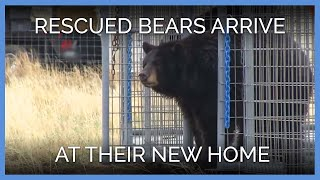 Bears Experience Their New Sanctuary Home