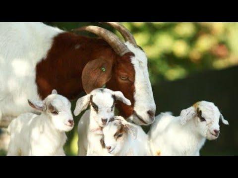 , title : 'Goat Farming is best profitable livestock business