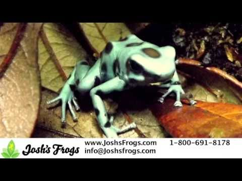Awesome Auratus Dart Frogs