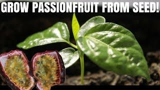 How to grow passion fruit from seed - DIY Video