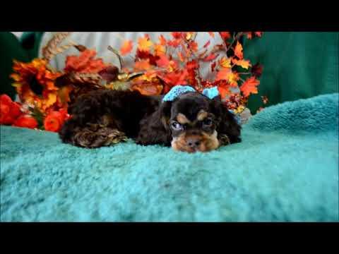 Benji AKC Chocolate Tan Male Cocker Spaniel Puppy for sale!