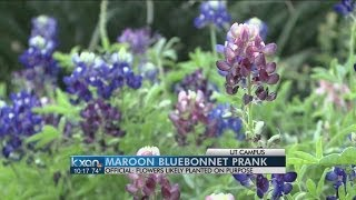 Did an Aggie plant maroon bluebonnets at UT Tower?