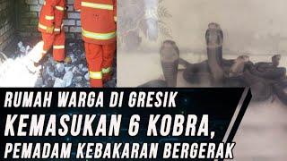 6 Ular Kobra Masuk Rumah Warga di Gresik, Petugas Pemadam Kebakaran Turun Tangan