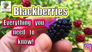 BLACKBERRIES! Everything You Need To Know
