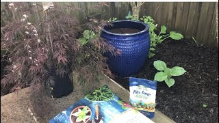 Planting a Japanese Maple tree in a pot!