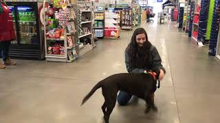 6 Month Old Chocolate Lab   Best Chocolate Lab Training Oklahoma   Board and Train