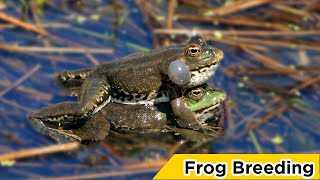 Frog Breeding and Sound live From Pool- ব্যাঙ প্রজনন