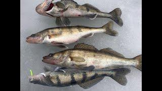Какая рыба клюет в рыбинском водохранилище