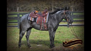 Gorgeous Blue Roan Gelding Barrons Video By Horse Of My Dreams