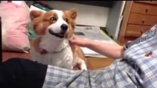 Прикол.Собака просит чтобы ее погладили!
