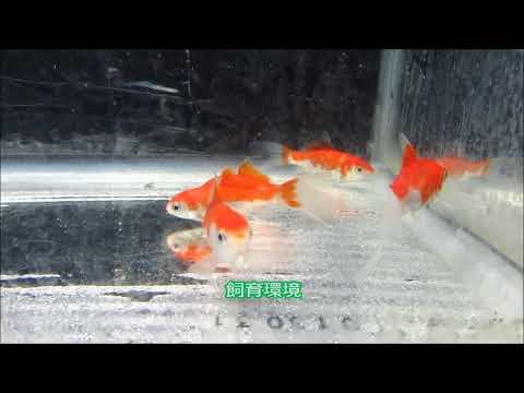 庄内金魚 A(ふりそできんぎょ)明け2才 6~7㎝   1月23日撮影