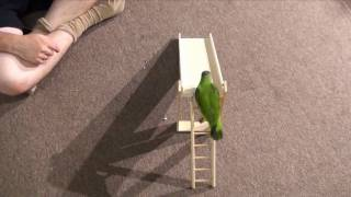 Senegal Parrot and Budgie Parakeet Sliding Down A Slide Trick