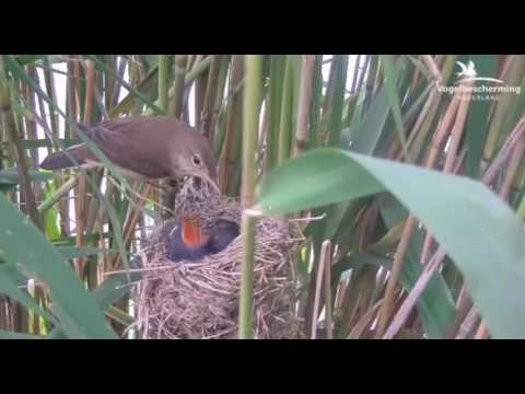 Reed Warblers Nest - Cuckoo Roundup 2017