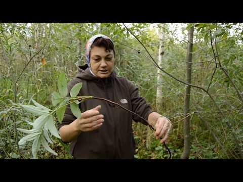 Сабельник болотный (декоп)