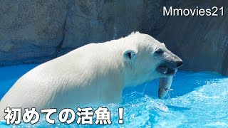Polar Bear cub's first live fish catch こぐま初めての活魚給餌2015