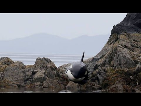, title : 'After This Orca Got Stranded, She Lay Crying For Hours  But How Rescuers Responded Incredible'