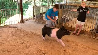 Making a great first impression with your show pig