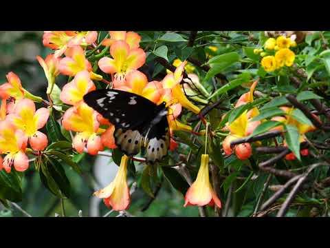 ゴライアストリバネアゲハ・メスの飛翔 Ornithoptera goliath
