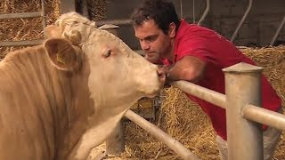 This Chained Bull Was Freed For The First Time ,What Happened Next Is Totally Adorable
