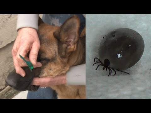 How To Remove A Tick -Removing A Tick Without Pain Or Tweezers - Removing A Tick From A Dog ✔