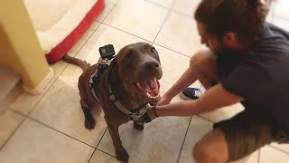 GoPro on Chocolate Labrador Left Home Alone!