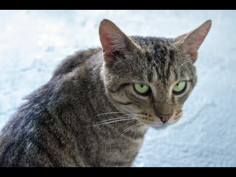 Hawkins, an adopted Domestic Short Hair & Tabby Mix in South Ozone Park, NY_image-1