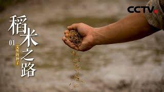 《稻米之路》第一集 文明的种子 | CCTV纪录