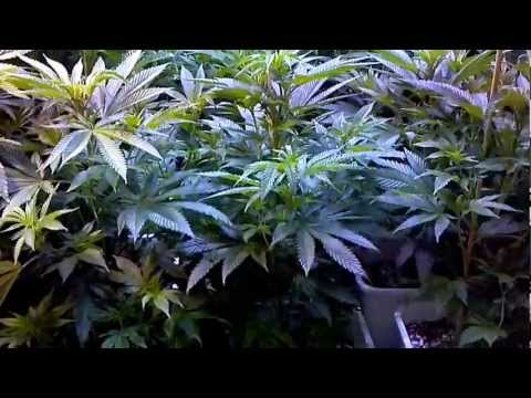 Growrilla hydroponics RDWC recirculating deep water culture